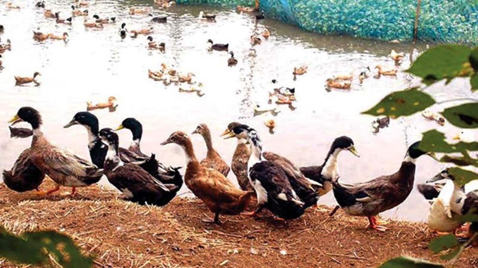 പക്ഷിപ്പനി വീണ്ടും; ആശങ്കയുടെ തീരത്ത് കുട്ടനാട്